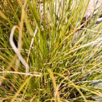 Carex-testacea