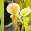 Sarracenia Heavy Veins