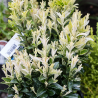 Euonymus japonicus 'Paloma Blanca'