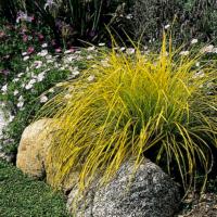 Carex elata 'Bowles Golden'