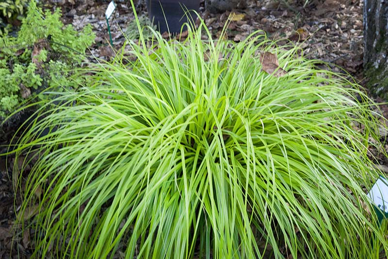 Carex Oshimensis Everillo Falling Water Gardens Plants