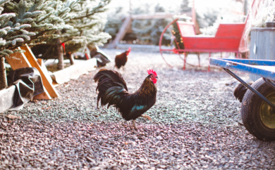 Roosters walking around the Christmas tree lot at Falling Water Gardens in Monroe, Washington.