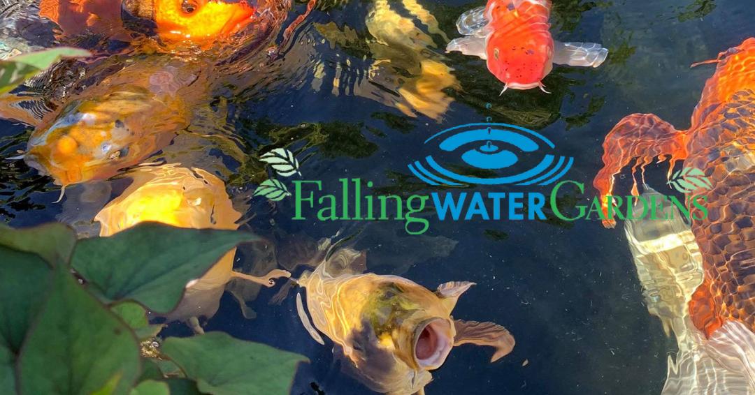 June 2021 Koi Pond at Falling Water Gardens in Monroe WA