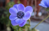 anemone-cor.-marianne-blue